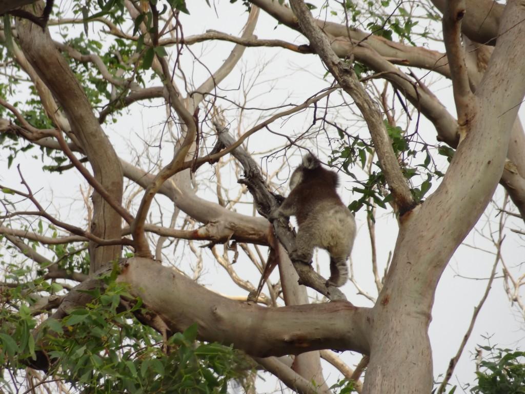 Koalas in Sicht